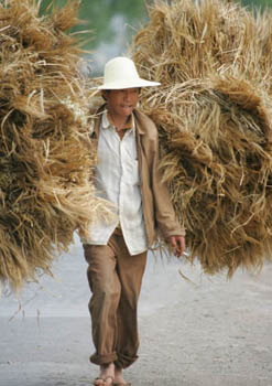 Oct/2009 - Farmer transporting wheat for threshing in Yunnan Province, China (photo credit: ILRI/Stevie Mann).