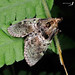 Locastra muscosalis - Photo (c) Shipher (士緯) Wu (吳), algunos derechos reservados (CC BY-NC-SA)