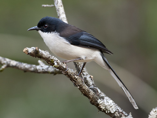 หางรำดำ Black-headed Sibia - Heterophasia melanoleuca | by Michael Gillam