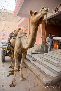 DSC08852 - Camel - Jaipur (India) | by loupiote (Old Skool) pro