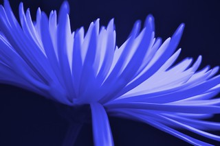 Blue Daggers