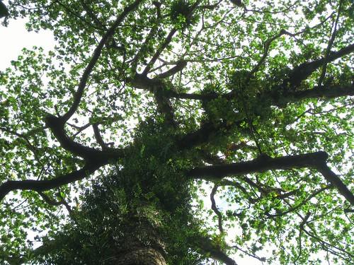 philippines bigtree hiddenvalley