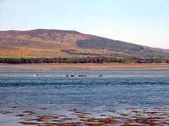 Seals near Dornoch   by Guy R