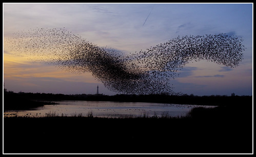 lancashire mere blackpool marton starlings