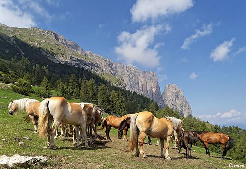 Alpe di siusi seiser alm cavalli haflinger avelignese for Cavalli bolzano