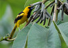 Yellow-Tailed Oriole by Billtacular