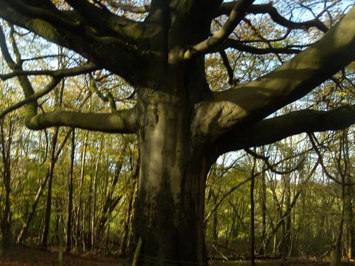 Big tree Knockholt Circular