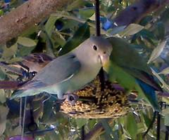 Blue African Lovebird