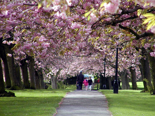 Pink Tree leaves in Harrogate
