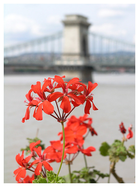 Chain bridge and the flower