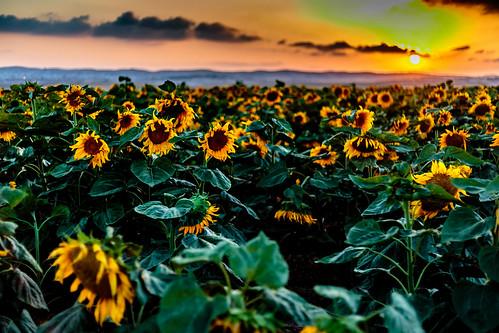 flowers sunset flower landscape israel sunflowers sunflower sunf