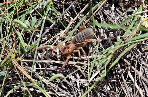 arachnid fieldtrip southtexas camelspider solifugae fieldexcursion zeesstof bureauofeconomicgeologyspringfieldtrip