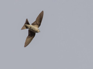 house martin example crop | by Brian Wadie Photographer