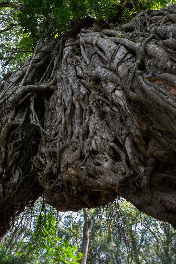 Elefanten sollen diesen Feigenbaum gespalten haben. 1. Tag Mount Meru Tour, 2016