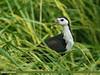 White-breasted Waterhen (Amaurornis phoenicurus) by gilgit2