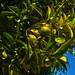 Citrus in the garden