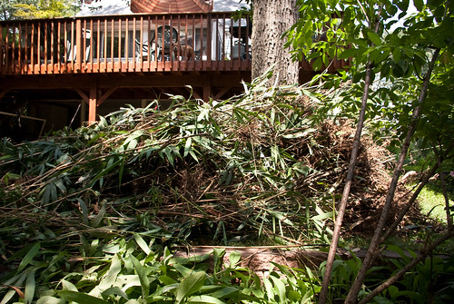 uprooted bamboo | by linda saboe