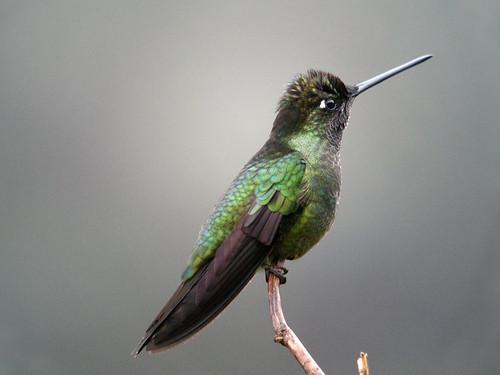 Magnificent Hummingbird, Mirador de Quetzales, Costa Rica | by Frank.Vassen