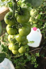 Tomato Clusters | by albertahomegardening