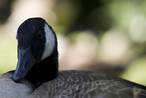 Goose portrait!