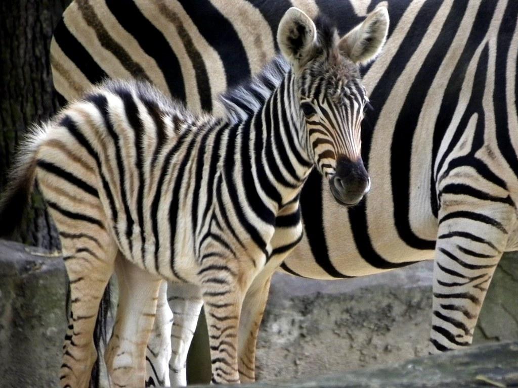 Zoo Antwerpen Baby Zebra It Was Born Yesterday