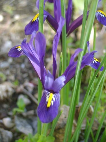 Iris d'ici et d'ailleurs - des espèces 32578224670_920a954377