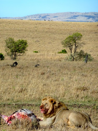Lion with his kill, Maasai Mara, Kenya | by emeybee