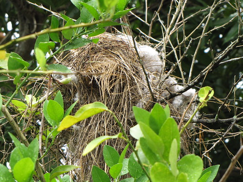 Great Kiskedee nest, rebuilt (first fallen).  That's laundry lint from a dryer... | by TaranRampersad