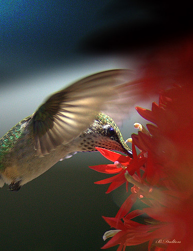 red hummingbird hummingbirds redflower rubythroatedhummingbird cardinalflower archilochuscolubris feathryfriday specanimal explore27 femalerubythroatedhummingbird anawesomeshot lightstylus hummingbirdflying