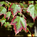 Red Maple - Photo (c) Stephen Seiberling, some rights reserved (CC BY-NC-ND)