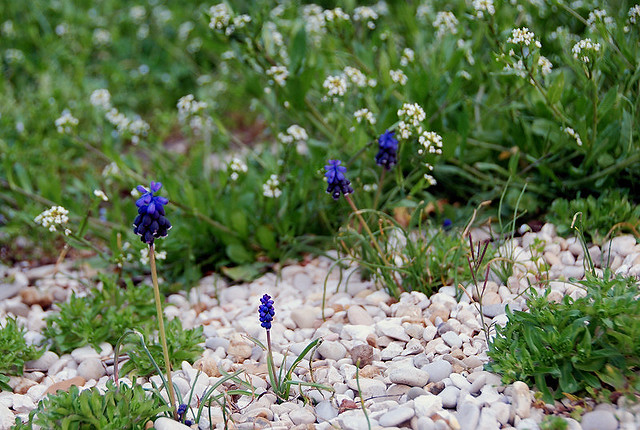 Fiori Di Campo.Fiori Di Campo Blu E Viola Blue And Purple Flowers Flickr