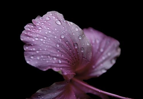 travel pink flowers vacation flower detail macro water aperture costarica bokeh earlymorning dew 28 puntarenas centralamerica quepos centroamerica morningtime 40d tamronspaf1750mmf28xrdiiildasphericalif tamron175028 canon40d 40deos
