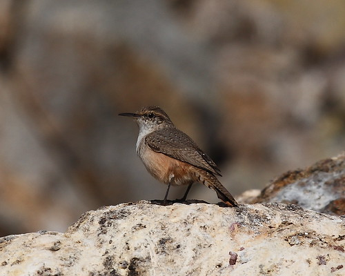 Rock Wren | by Podoces