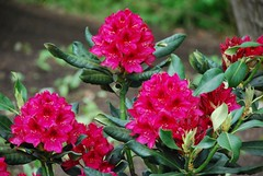 Rhododendrons in the cottage garden | by A Storybook Life