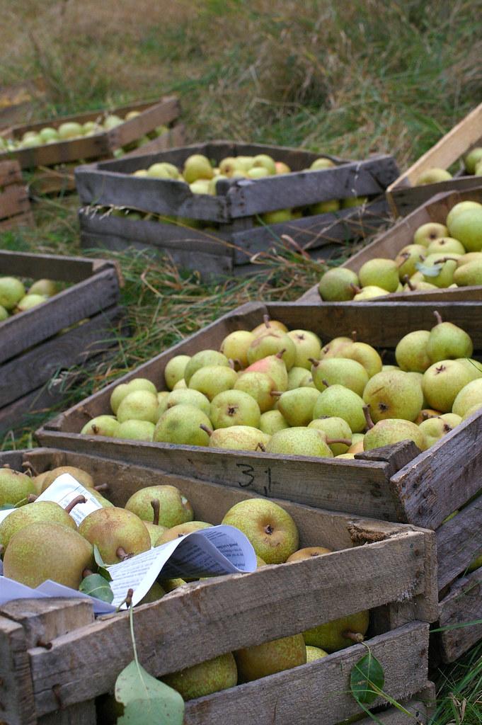 Gruszkobranie / Pear harvest