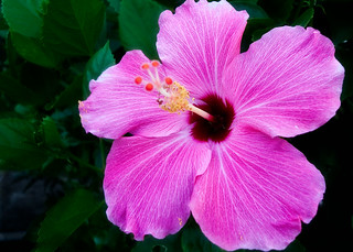 Untitled Hibiscus | by Mr Noded