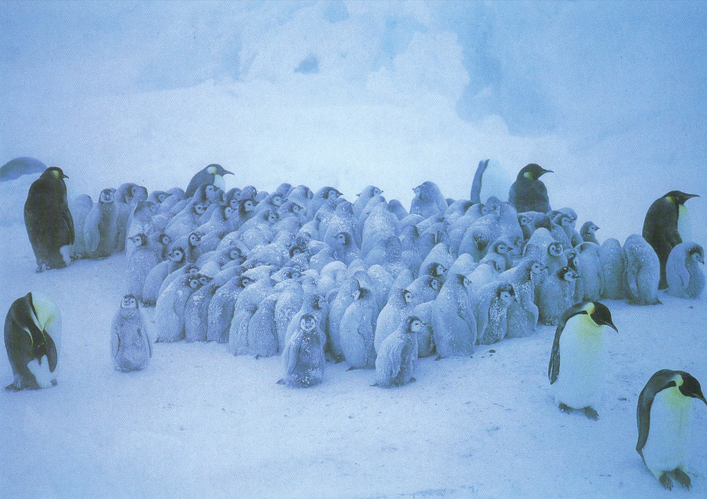 Emperor Penguins Postcard