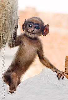DSC09447 - Baby Monkey with Big Ears - Langur Black-faced Monkey | by loupiote (Old Skool) pro