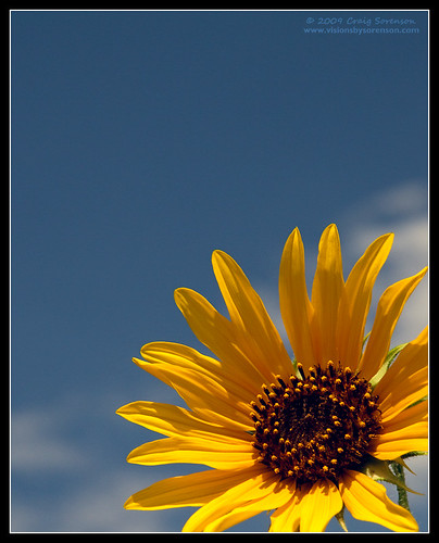 blue summer sky usa brown white flower nature yellow clouds canon geotagged eos unitedstates fb idaho explore sunflower 2009 pocatello gowest cherrysprings 50d efs1755mmf28isusm minkcreek platinumheartaward craigsorenson july31stthroughaugust16th cherryspringsnaturearea geo:lat=4275117203 geo:lon=11239433168 20090822194950z