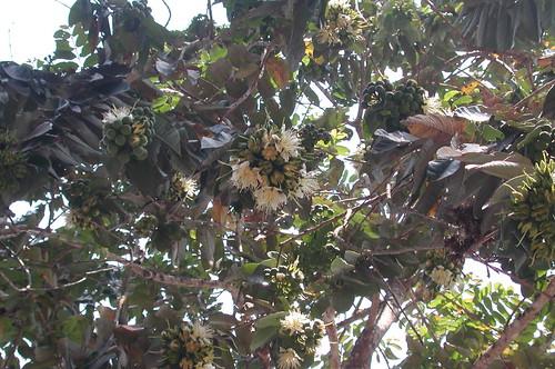 Thu, 10/29/2009 - 22:40 - Duabanga grandiflora. Credit: CTFS