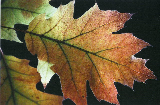 Autumn Oak Leaves Postcard