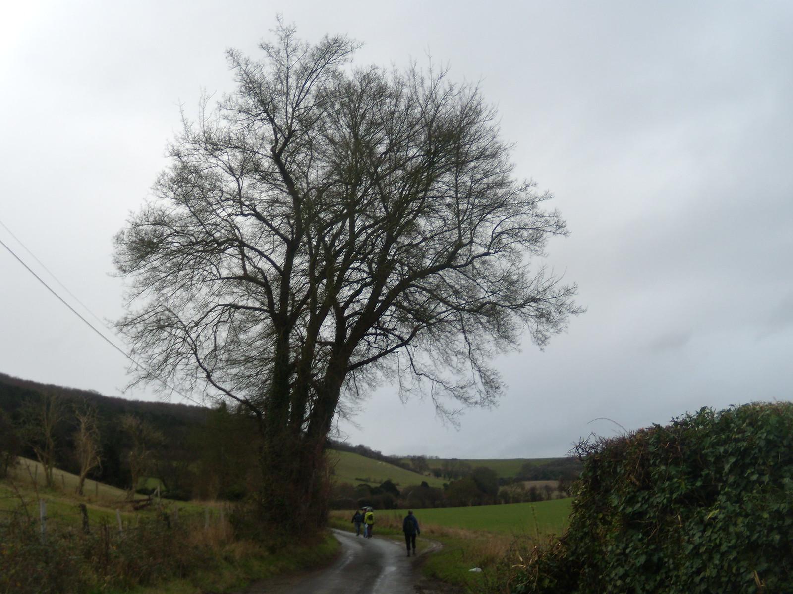 Past a lone tree Eynsford to Shoreham