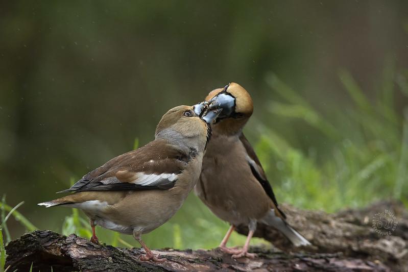 Appelvink - Hawfinch