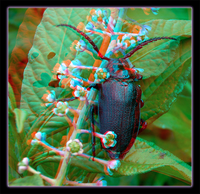 Prionus Laticollis, Broad-necked Root Borer Beetle on Pokeweed Flowers 4 - Anaglyph 3D