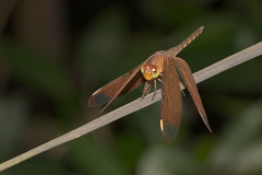 Fulvous Forest Skimmer!