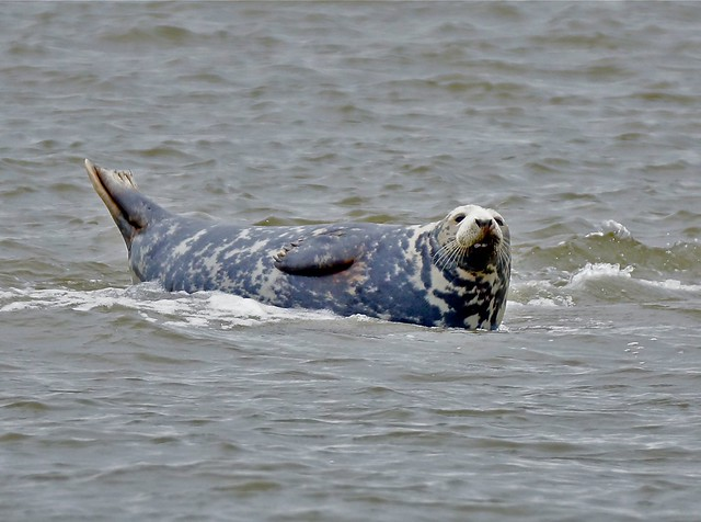 Zeehond Waddenzee