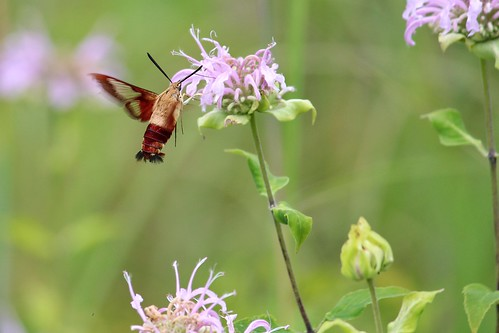 flowers summer nature bug july local hummingbirdmoth in 2015 coolcreekpark moschell