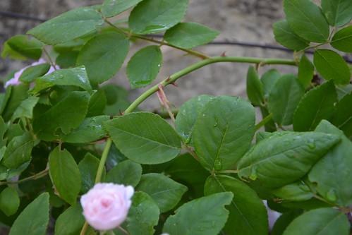 rosier 'Laure Davoust' 32730211552_6dfac8836d
