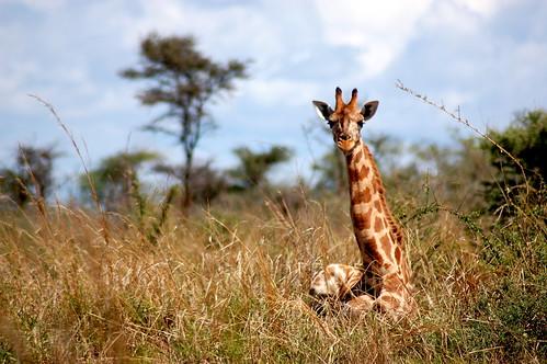 wildlife safari giraffe uganda murchison