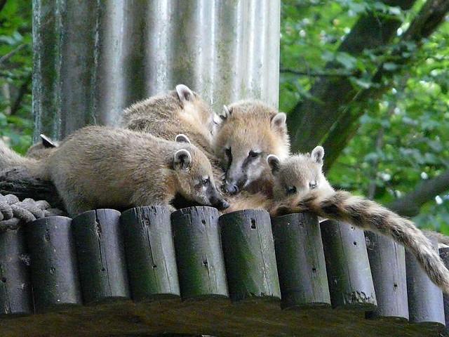 Nasenbären Eberswalde